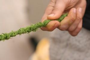 tsama wheatgrass-min